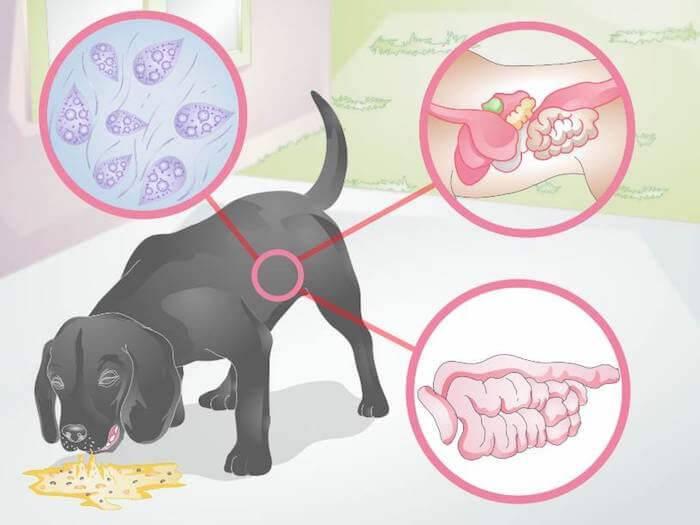 Рвота у собаки после еды непереваренной пищей - что делать?