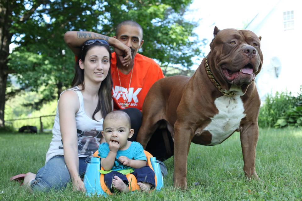 Американский булли: все о собаке, фото, описание породы, характер, цена