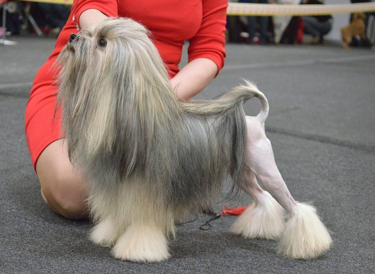 Wikizero - малая львиная собака
