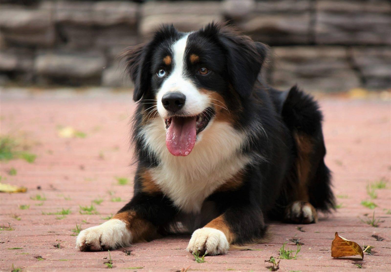 Пастушьи породы собак: список с описаниями и фото