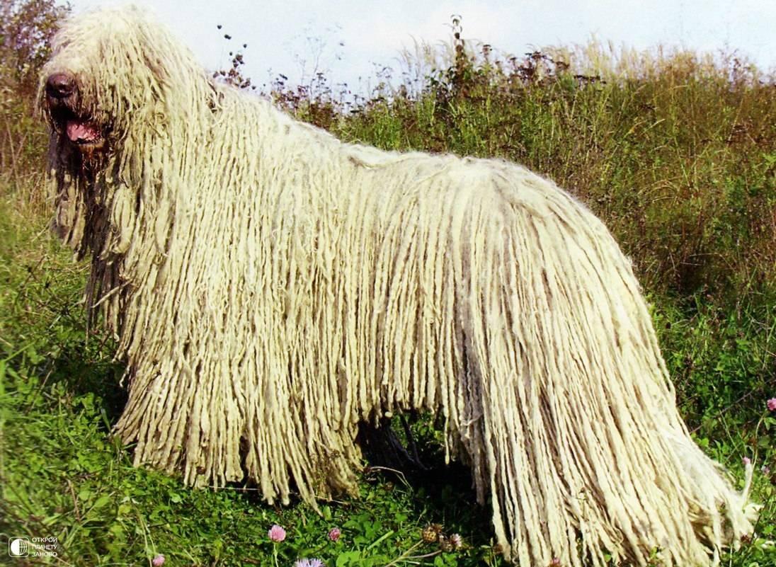 Собака с дредами: название породы