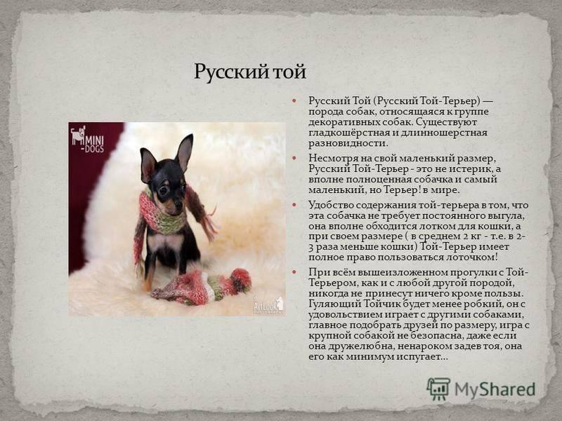 Описание, содержание и уход за русскими длинношерстными той-терьерами