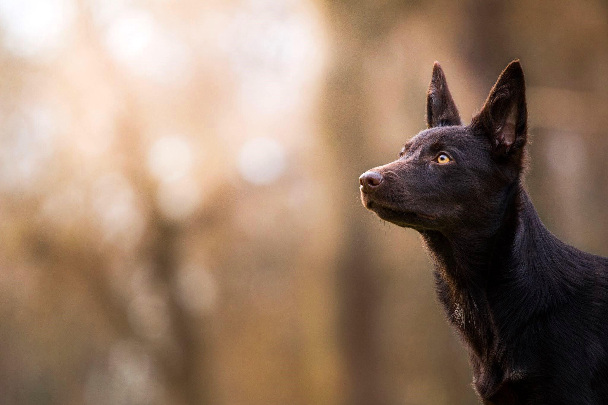 Австралийский келпи – характер, фото и описание породы