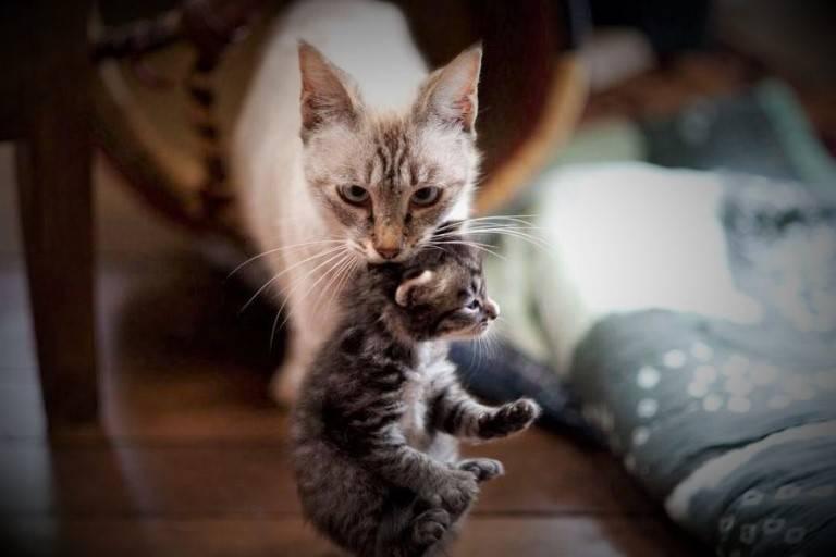 Почему кошка перетаскивает котят в другое место