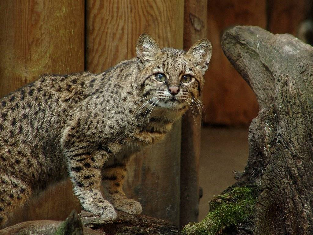Самые дорогие кошки в мире: рейтинг и названия пород, фотографии котов и отзывы их владельцев
