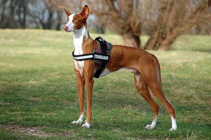Десятка самых редких пород собак в мире, о которых мало кто слышал