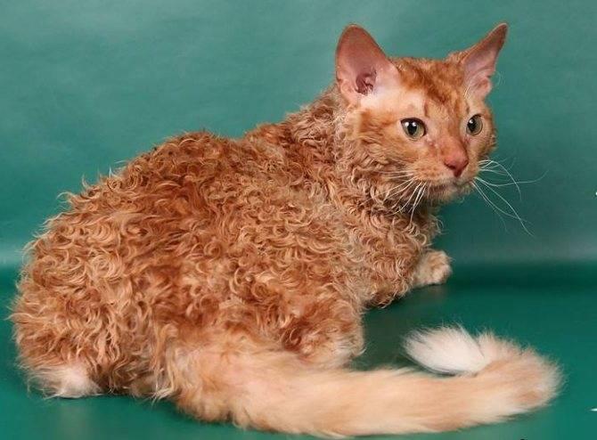 Описание породы кошек лаперм и различия длинношерстной и короткошерстной разновидности