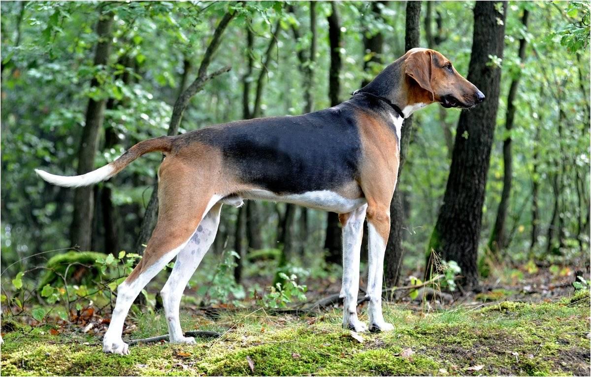 Топ-15 – гончие собаки: лучшие помощники в охоте