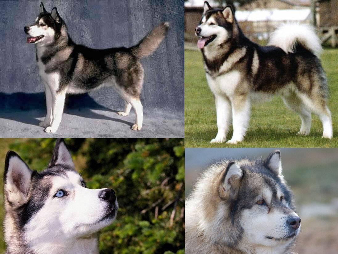 8 собак, которые напоминают хаски