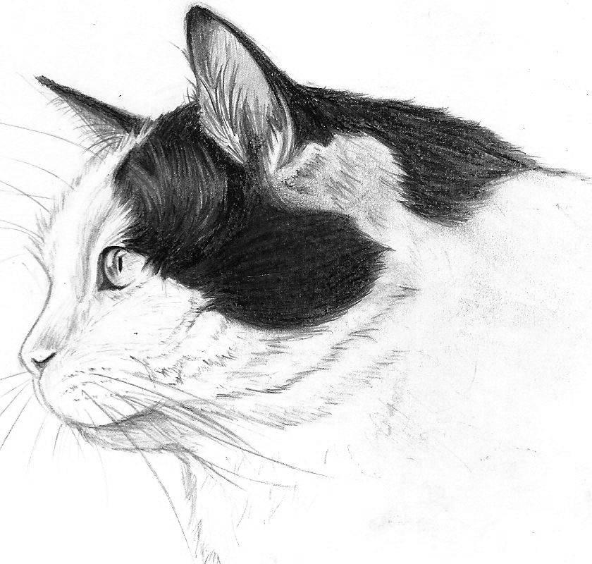 Морда кошки - рисунок карандашом, трафарет, фото, в профиль