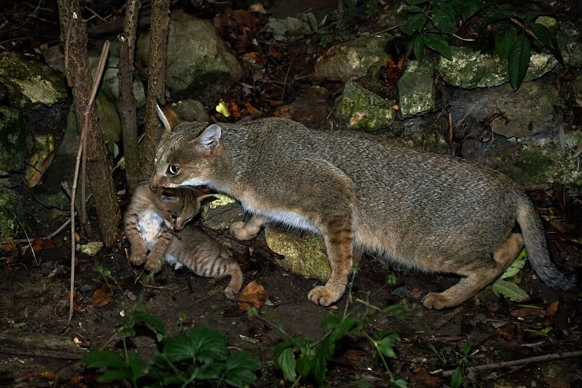 Камышовый кот: 7 особенностей болотной рыси