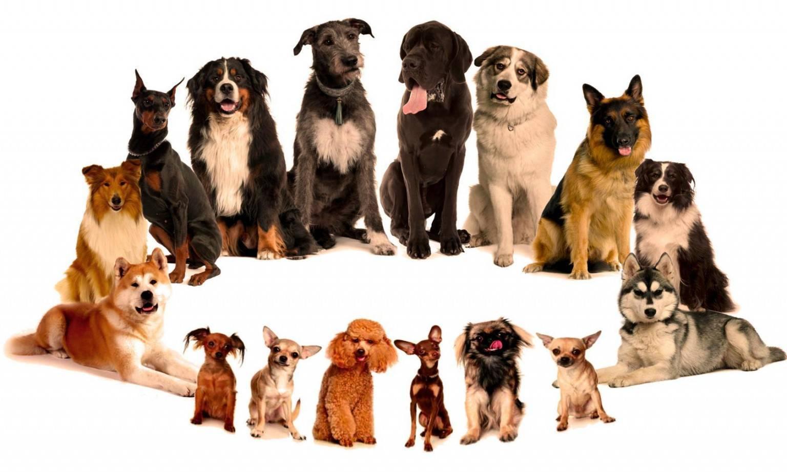 Обзор маленьких пород собак – топ 40