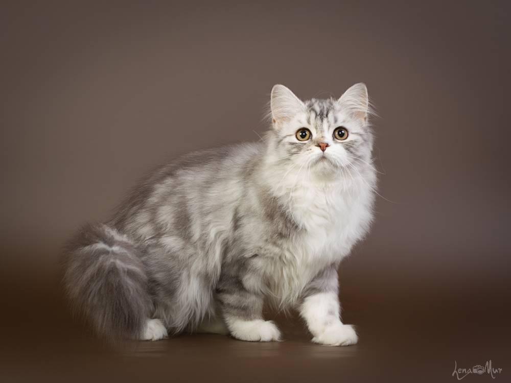 Все о шотландской длинношерстной прямоухой породе кошек хайленд страйт