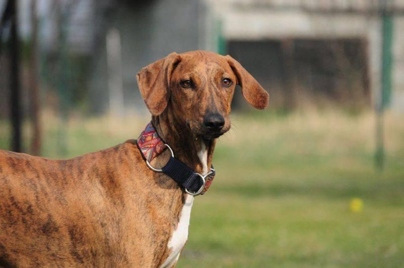 Описание породы собак азавак (африканская борзая) с отзывами владельцев и фото