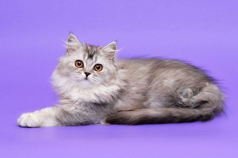 Хайленд-страйт: описание породы, характер кошки, советы по содержанию и уходу, фото