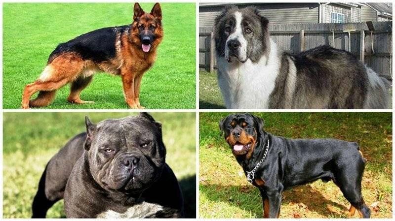 Самые опасные породы собак. топ-10