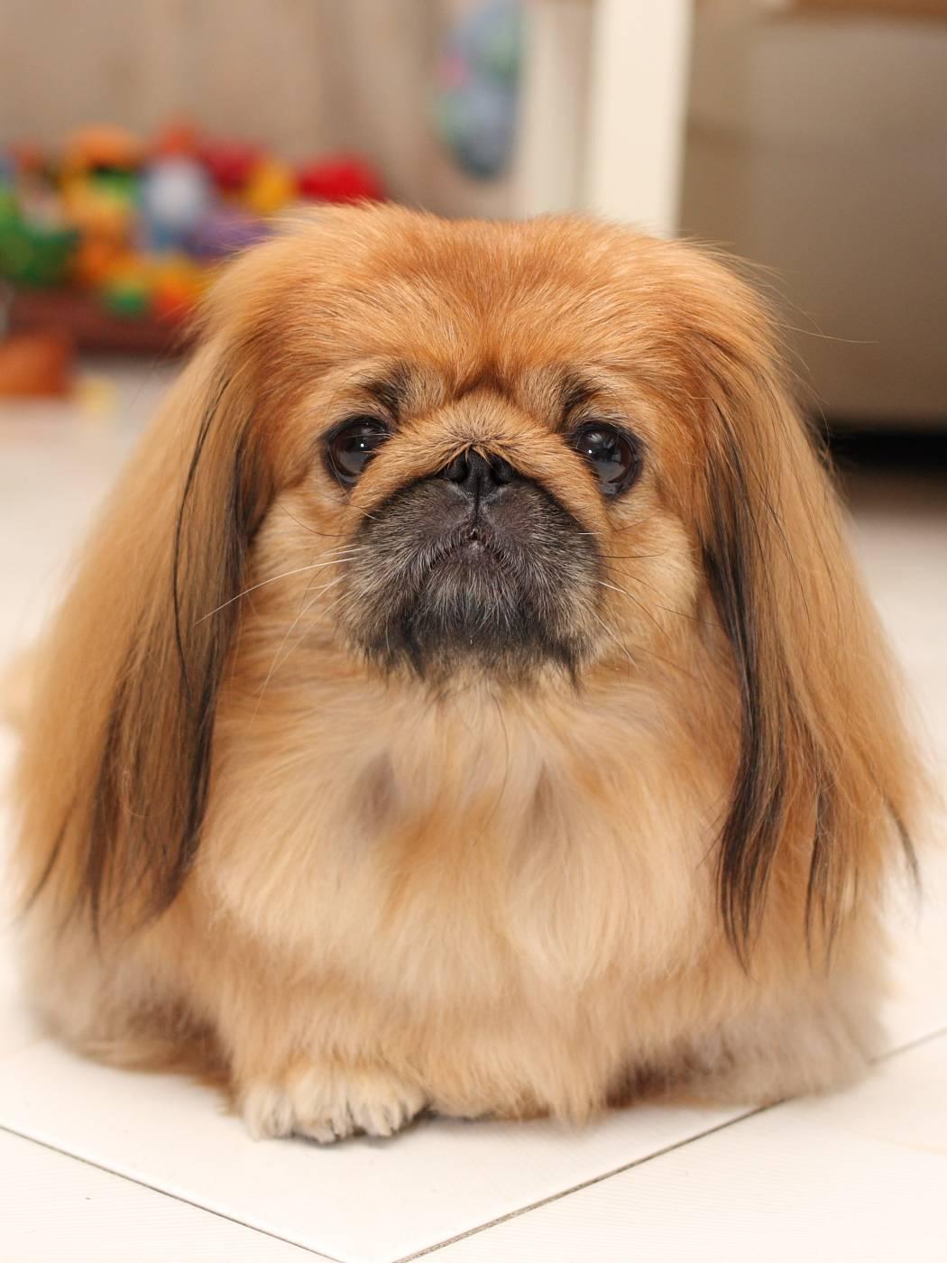 Пекинес (собака китайских императоров): уход и содержание, стандарты породы, окрас, история породы + цена щенков и отзывы