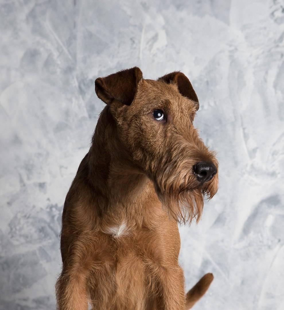 Ирландский терьер — порода собаки