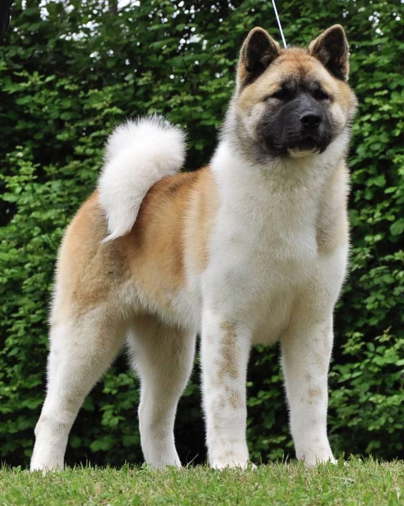 Японские породы собак: от акиты до хина