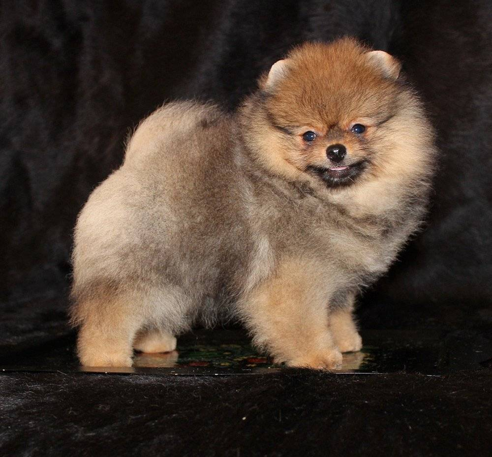 Порода собак померанский шпиц: типы окрасов и фото