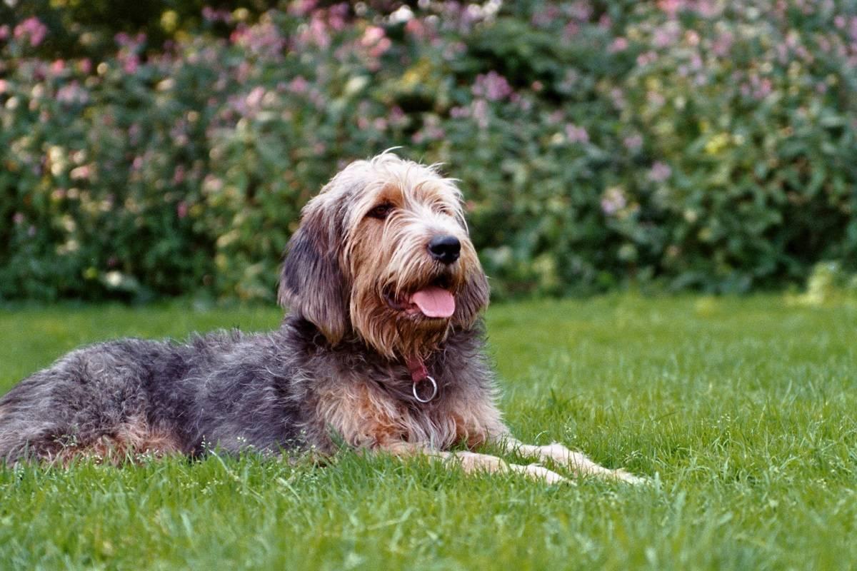 Оттерхаунд (выдровая гончая): фото породы собак, описание
