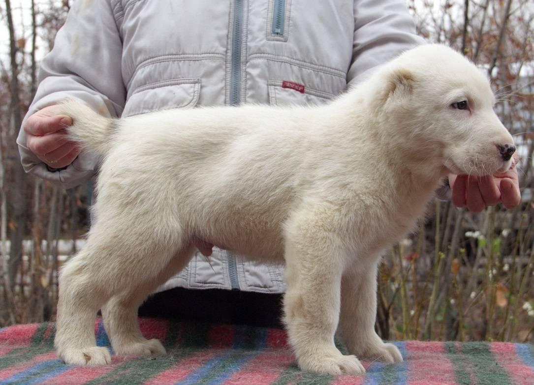 Алабай, он же среднеазиатская овчарка (сао): описание породы с фото и видео