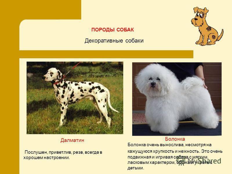 Русская цветная болонка. описание, особенности, уход и цена русской цветной болонки | животный мир