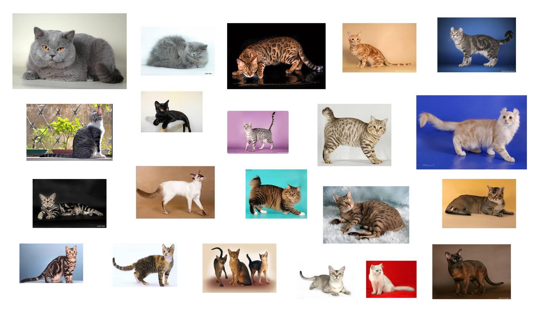 Как определить породу кошки по внешним признакам: окрас, особенности телосложения, фото