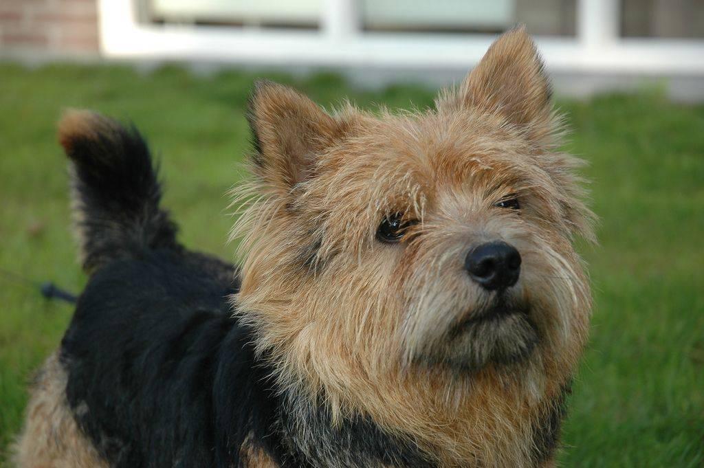 Норвич терьер — характер, описание и фото собаки