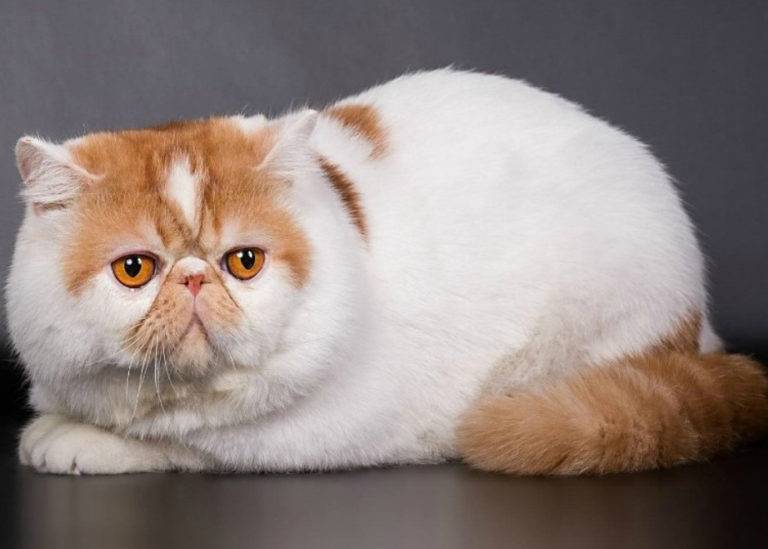 Коты и кошки с большими глазами | фото, порода