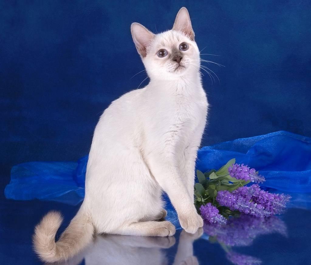Тайская кошка: фото, описание породы и особенности характера