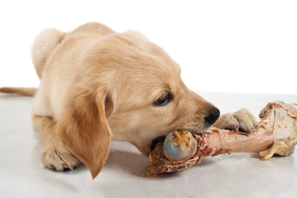 Можно ли кормить собаку только сухим кормом: за и против