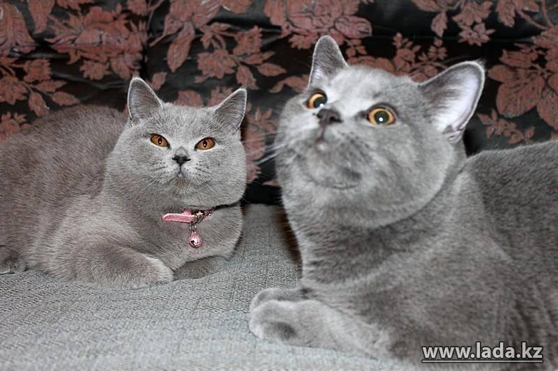 Что нужно знать об уходе за британскими котятами: советы опытных заводчиков