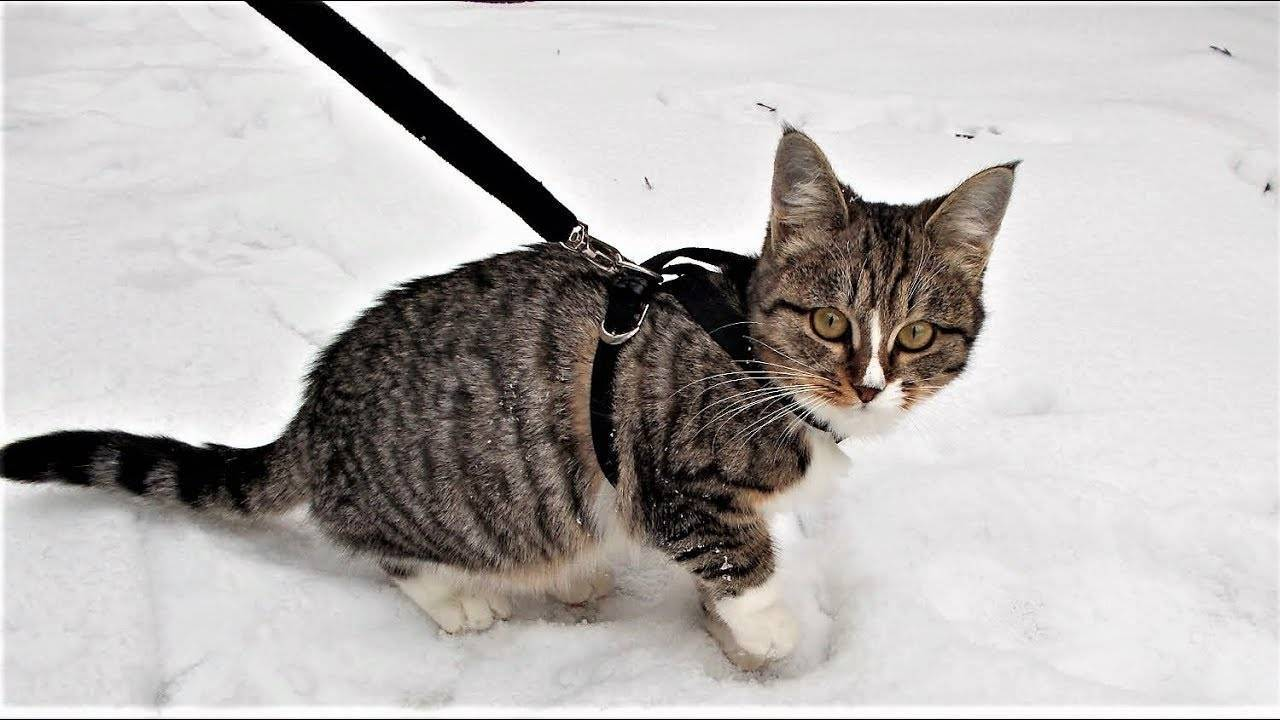 Поводок , ошейник, шлейка, сумка для прогулок с кошкой, как одеть, а также надо ли гулять вообще