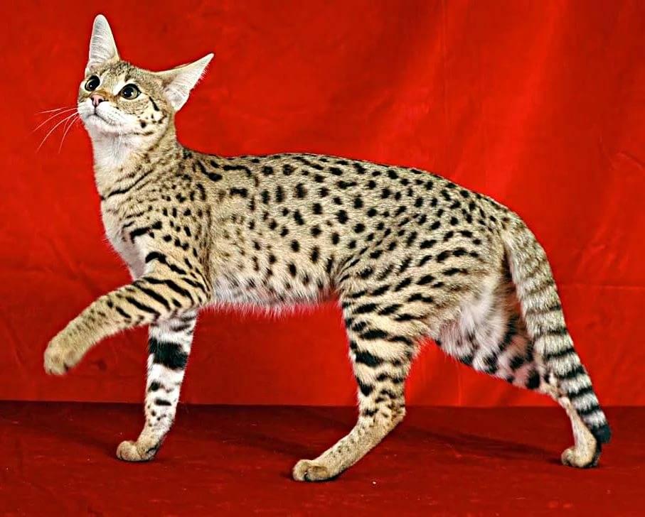 Топ-10 самых дорогих в мире кошек с фотографиями и названиями: элитные породы и драгоценные любимцы