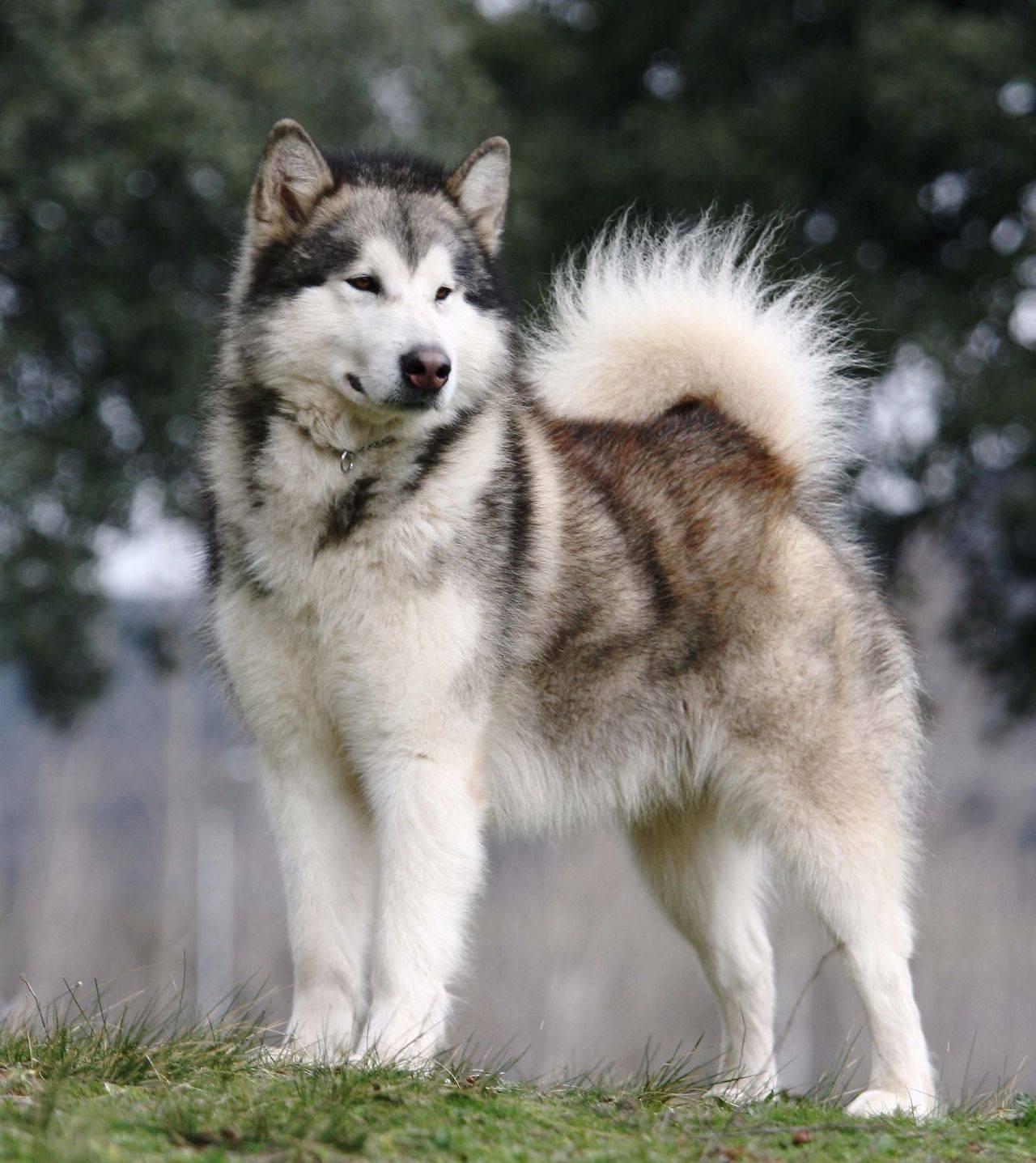 Настоящий северный волк – сибирский хаски