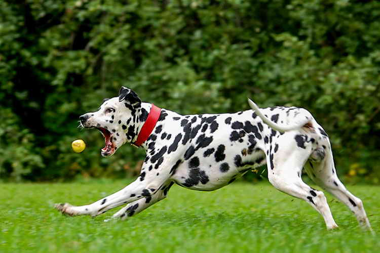 Далматинец: описание породы, характеристика, как выглядит фото, уход и содержание, цена щенков