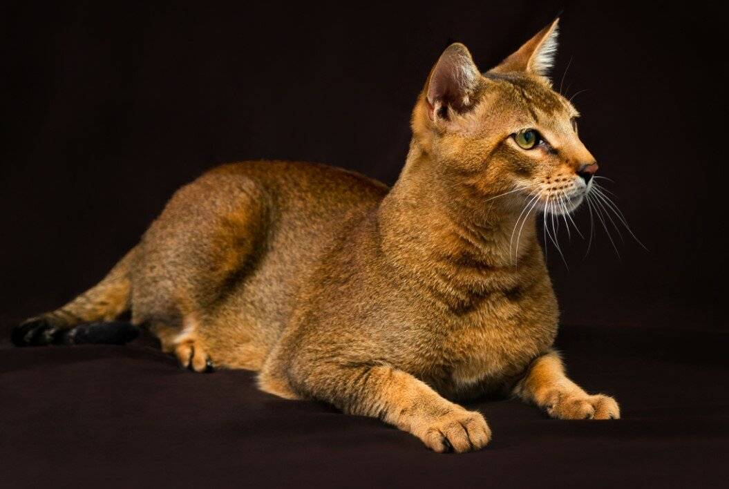 Чаузи: все о кошке, фото, описание породы, характер, цена
