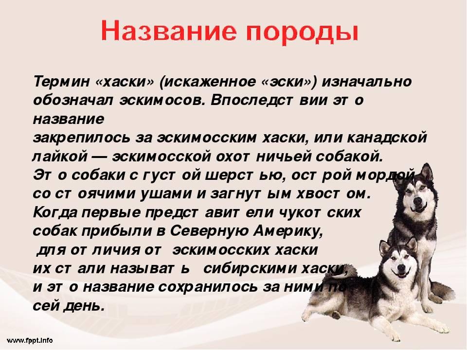 Дрессировка сибирского хаски