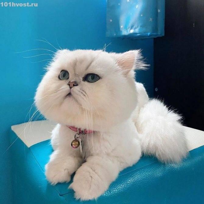 Персидская кошка: описание породы и характера, фото, советы