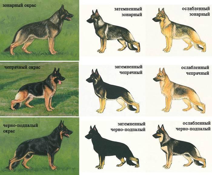 Немецкая овчарка: стандарты породы, питание, характер, особенности