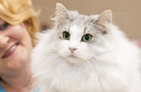 Норвежская лесная - порода кошек - информация и особенностях | хиллс