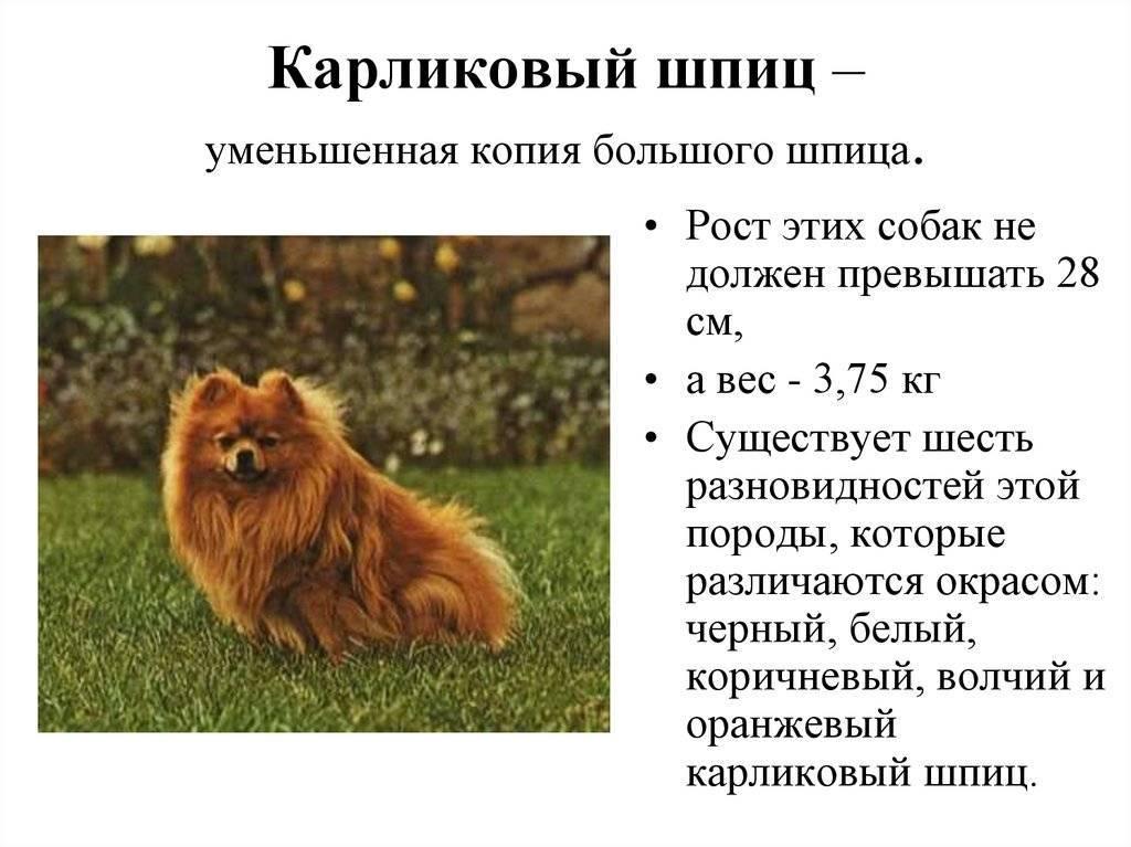 Немецкий шпиц – описание породы и ее разновидности: внешний вид и характер собак, правильный уход за питомцами