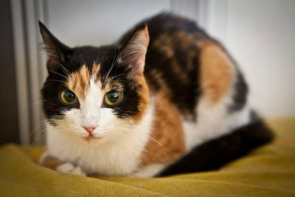 Бывают ли трехцветные коты, или трехшерстными могут родиться только кошки?