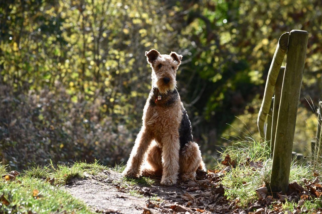 Эрдельтерьер: описание породы, характеристика, уход за щенками и взрослой собакой