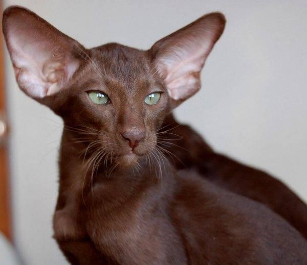Кошки с круглыми ушами: список и описание пород