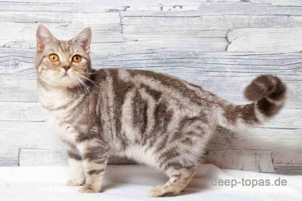 Мраморный британец: виды и особенности окраса вислоухих котов