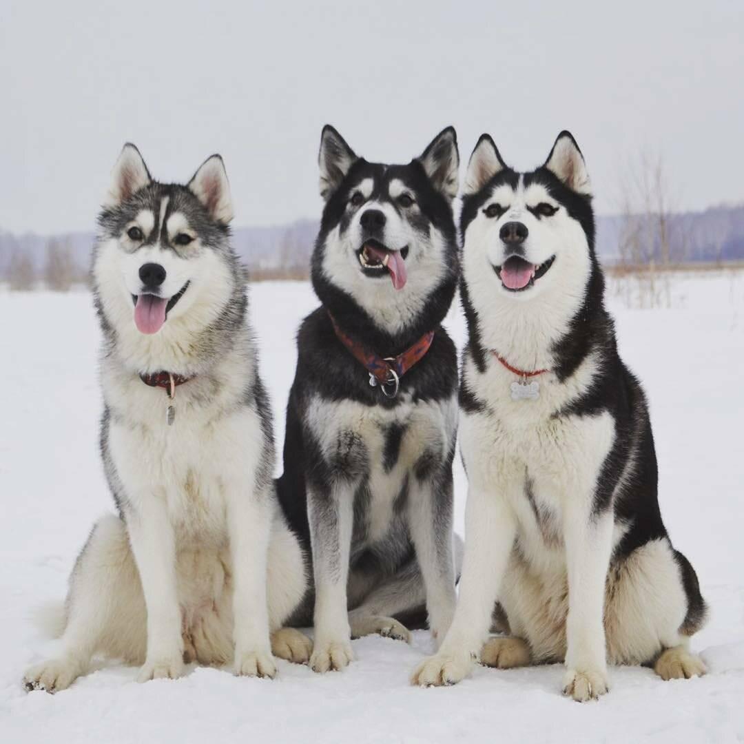 Белая собака порода похожая на хаски