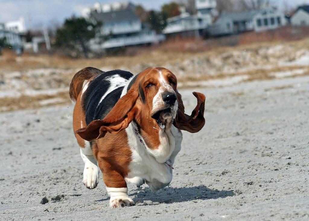 Бассет-хаунд - порода собак - информация и особенностях | хиллс