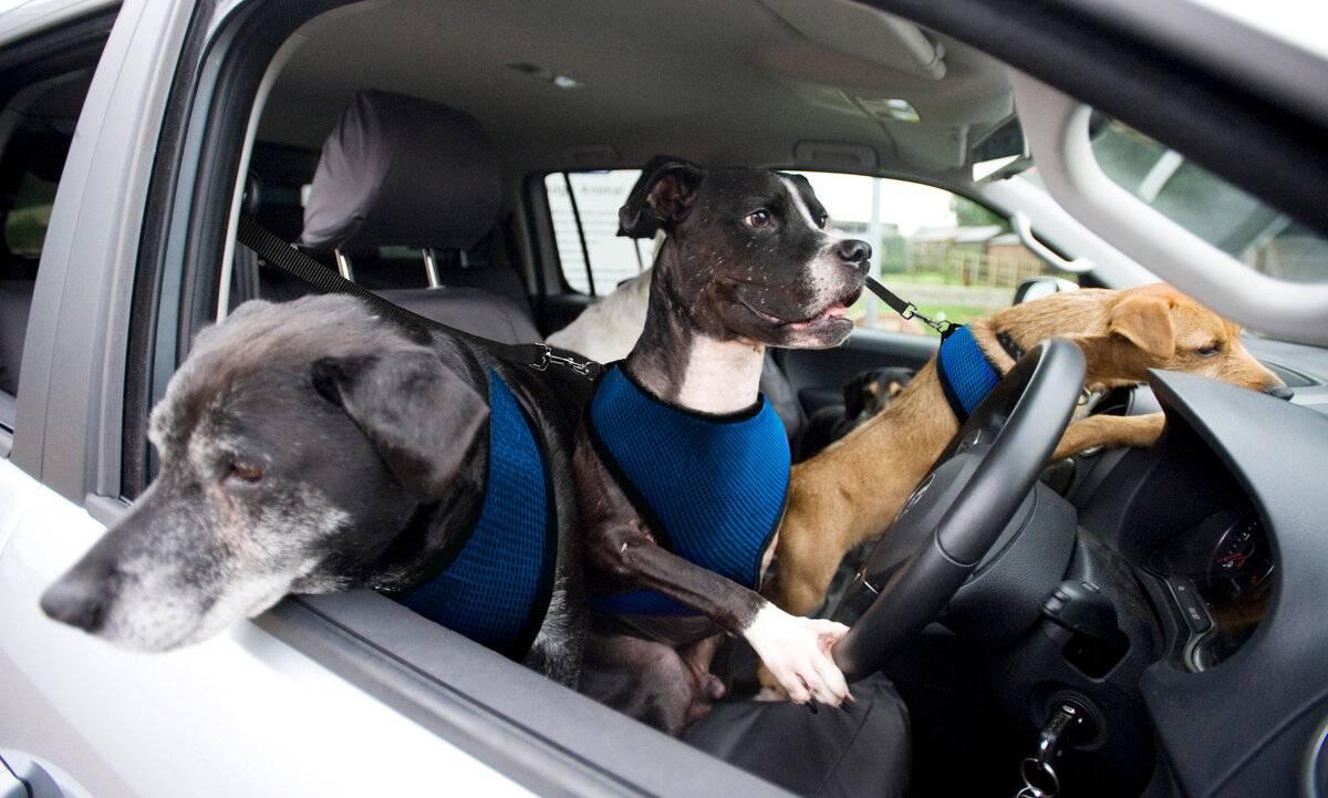 Что делать, когда собаку укачивает в машине?